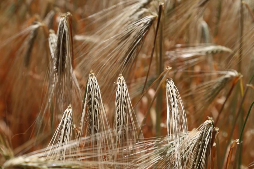 wheat-809444